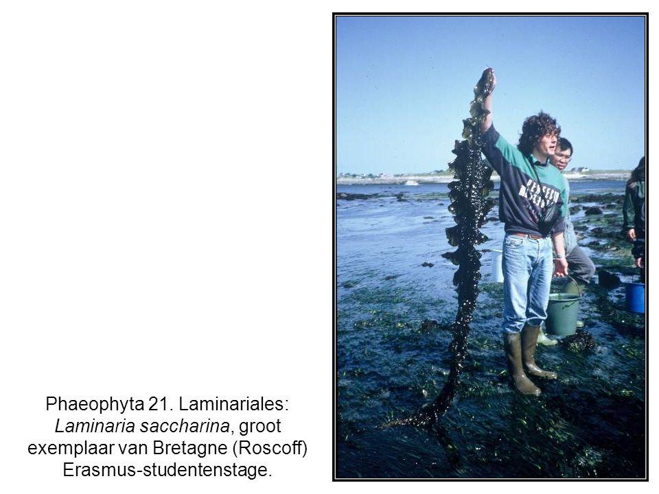 Phaeophyta 21. Laminariales: Laminaria saccharina, groot exemplaar van Bretagne (Roscoff) Erasmus-studentenstage.