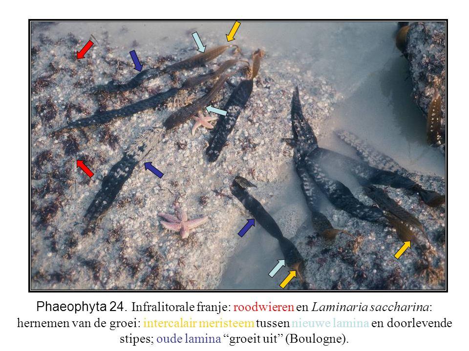 Phaeophyta 24. Infralitorale franje: roodwieren en Laminaria saccharina: hernemen van de groei: intercalair meristeem tussen nieuwe lamina en doorleve