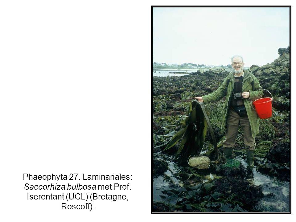 Phaeophyta 27. Laminariales: Saccorhiza bulbosa met Prof. Iserentant (UCL) (Bretagne, Roscoff).