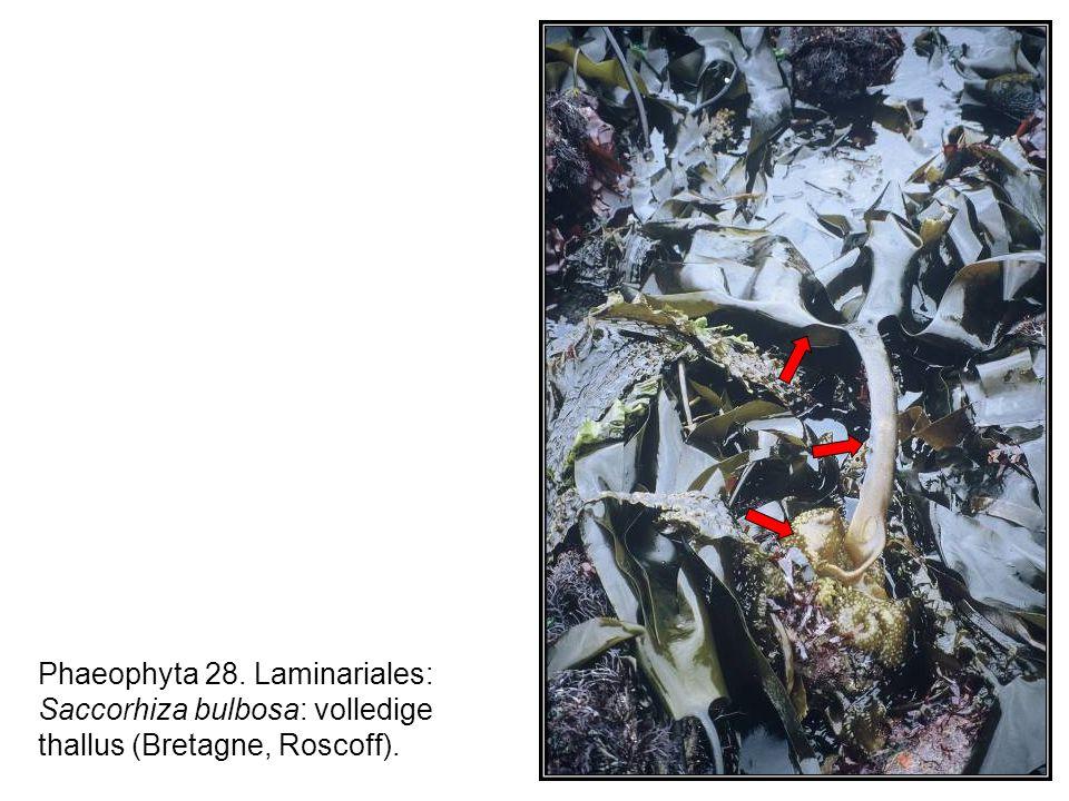 Phaeophyta 28. Laminariales: Saccorhiza bulbosa: volledige thallus (Bretagne, Roscoff).