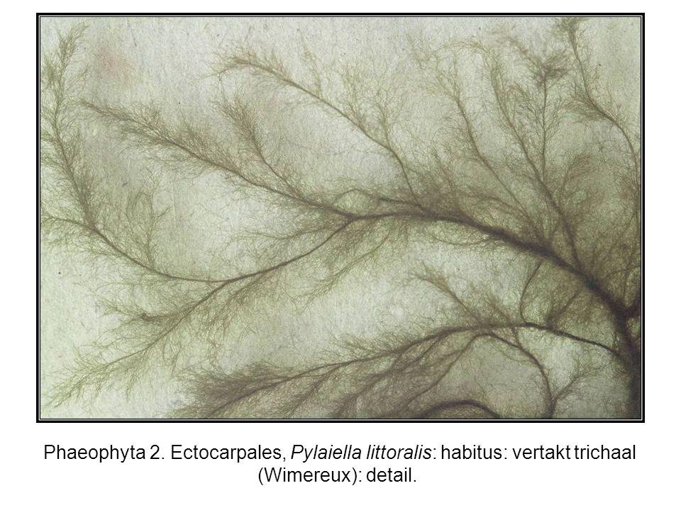 Phaeophyta 2. Ectocarpales, Pylaiella littoralis: habitus: vertakt trichaal (Wimereux): detail.