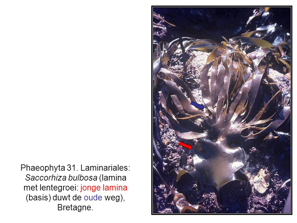 Phaeophyta 31. Laminariales: Saccorhiza bulbosa (lamina met lentegroei: jonge lamina (basis) duwt de oude weg), Bretagne.