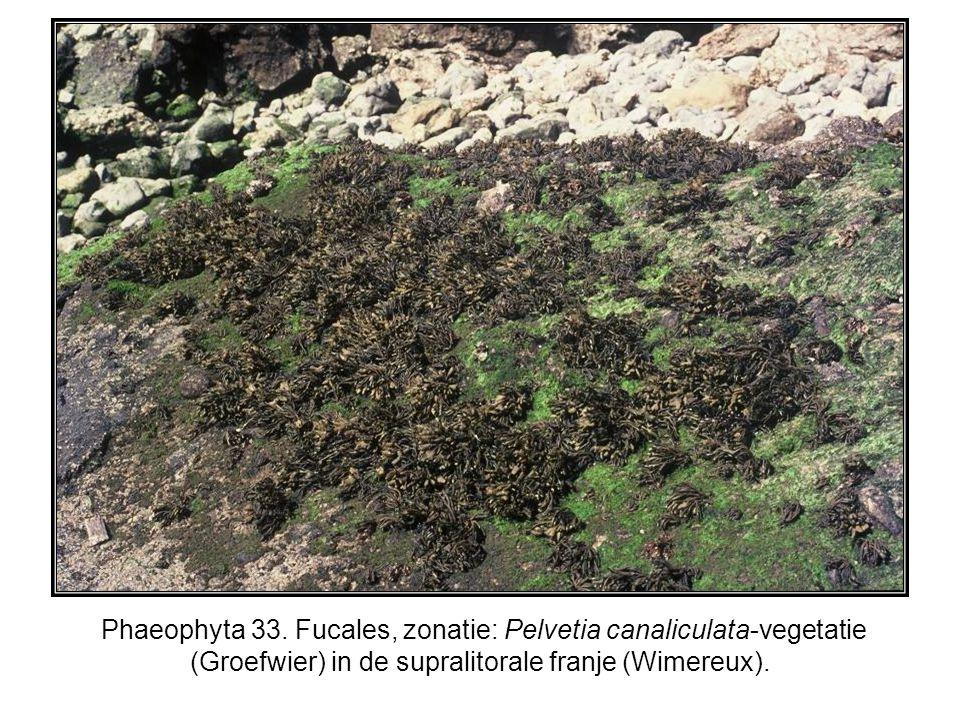 Phaeophyta 33. Fucales, zonatie: Pelvetia canaliculata-vegetatie (Groefwier) in de supralitorale franje (Wimereux).