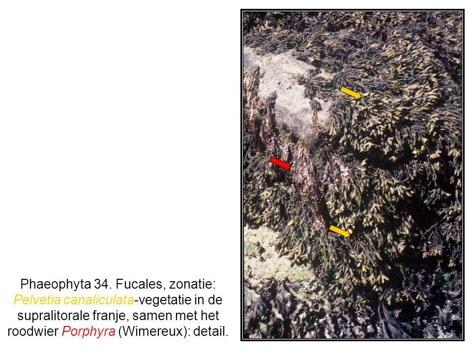 Phaeophyta 34. Fucales, zonatie: Pelvetia canaliculata-vegetatie in de supralitorale franje, samen met het roodwier Porphyra (Wimereux): detail.