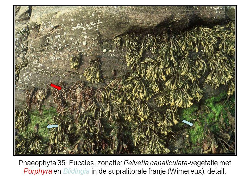 Phaeophyta 35. Fucales, zonatie: Pelvetia canaliculata-vegetatie met Porphyra en Blidingia in de supralitorale franje (Wimereux): detail.