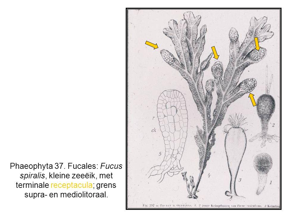 Phaeophyta 37. Fucales: Fucus spiralis, kleine zeeëik, met terminale receptacula; grens supra- en mediolitoraal.