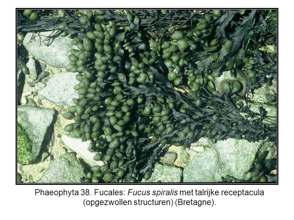 Phaeophyta 38. Fucales: Fucus spiralis met talrijke receptacula (opgezwollen structuren) (Bretagne).