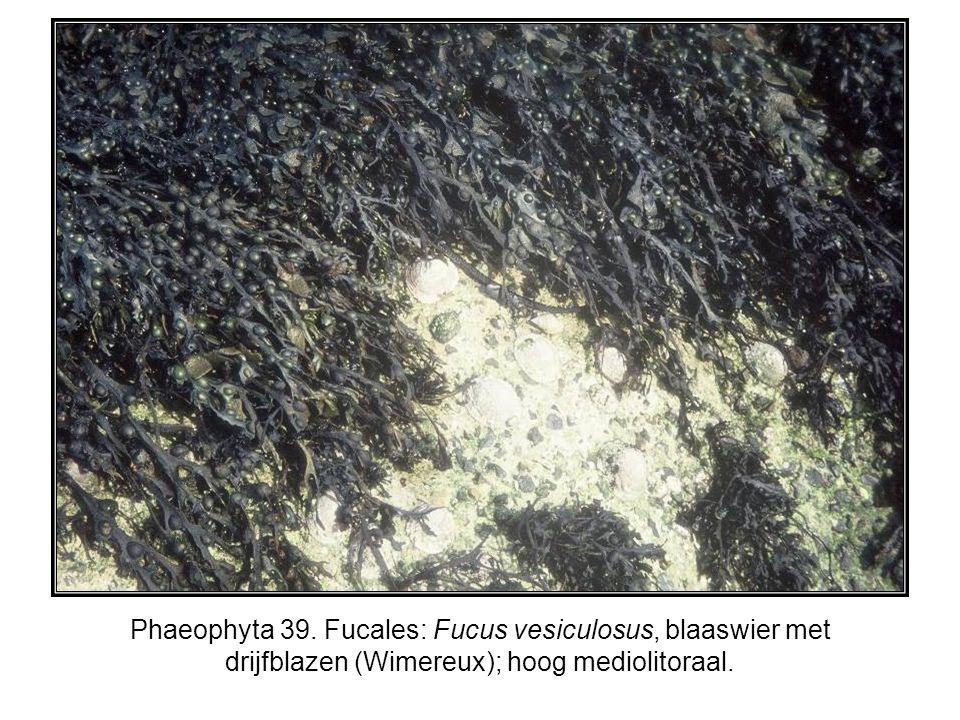 Phaeophyta 39. Fucales: Fucus vesiculosus, blaaswier met drijfblazen (Wimereux); hoog mediolitoraal.