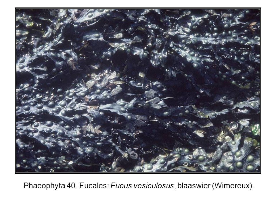 Phaeophyta 40. Fucales: Fucus vesiculosus, blaaswier (Wimereux).