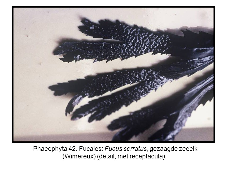 Phaeophyta 42. Fucales: Fucus serratus, gezaagde zeeëik (Wimereux) (detail, met receptacula).