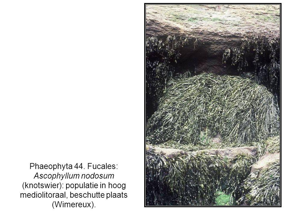 Phaeophyta 44. Fucales: Ascophyllum nodosum (knotswier): populatie in hoog mediolitoraal, beschutte plaats (Wimereux).