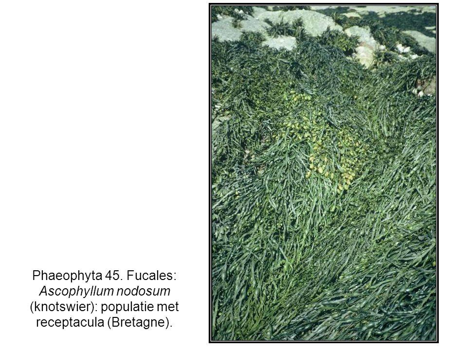 Phaeophyta 45. Fucales: Ascophyllum nodosum (knotswier): populatie met receptacula (Bretagne).