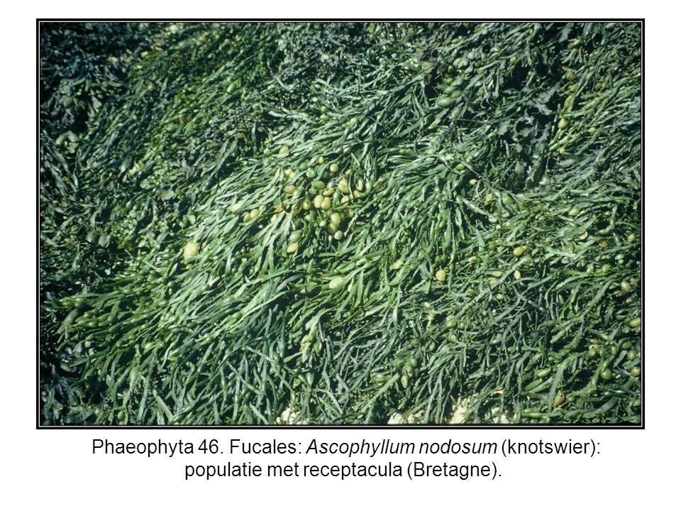 Phaeophyta 46. Fucales: Ascophyllum nodosum (knotswier): populatie met receptacula (Bretagne).