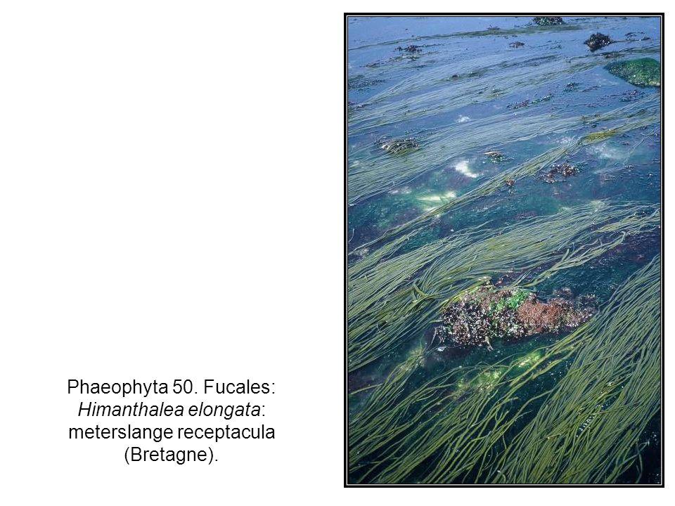 Phaeophyta 50. Fucales: Himanthalea elongata: meterslange receptacula (Bretagne).