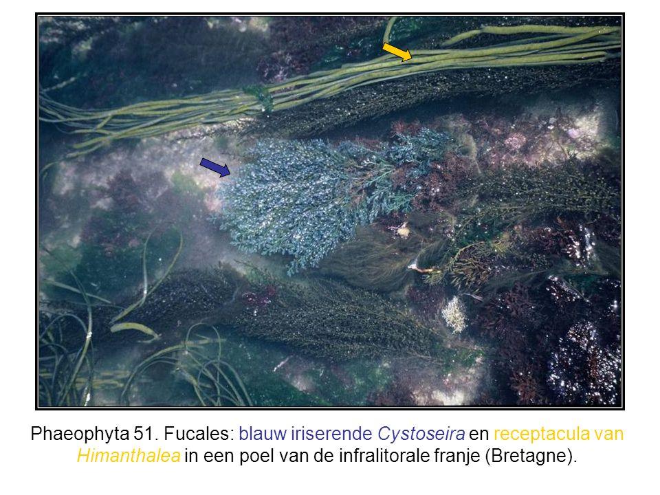 Phaeophyta 51. Fucales: blauw iriserende Cystoseira en receptacula van Himanthalea in een poel van de infralitorale franje (Bretagne).