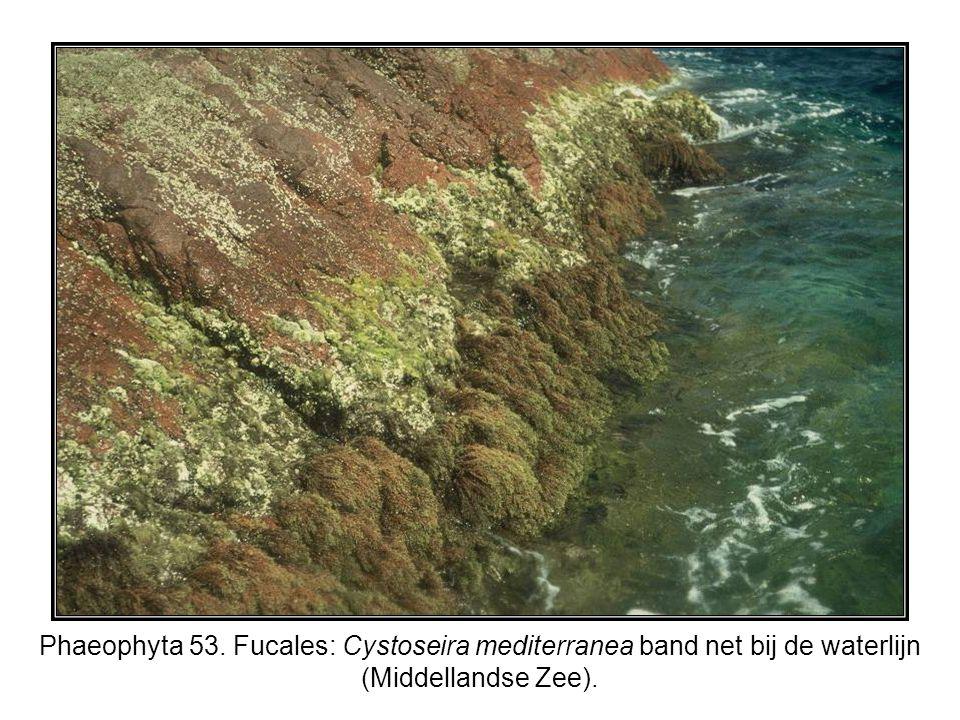 Phaeophyta 53. Fucales: Cystoseira mediterranea band net bij de waterlijn (Middellandse Zee).