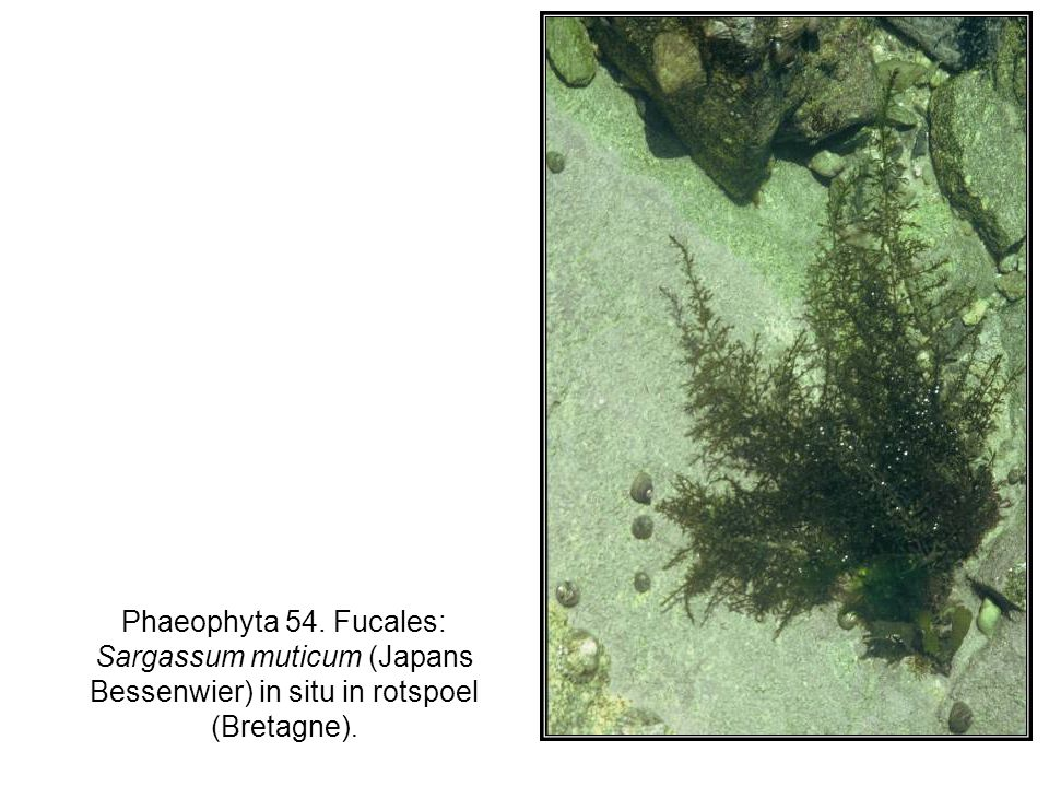 Phaeophyta 54. Fucales: Sargassum muticum (Japans Bessenwier) in situ in rotspoel (Bretagne).