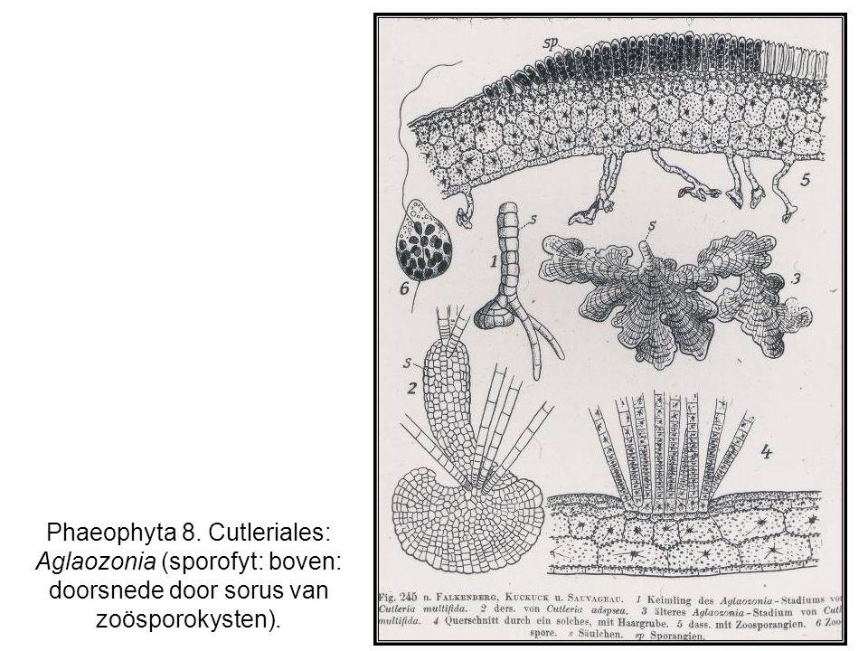 Phaeophyta 8. Cutleriales: Aglaozonia (sporofyt: boven: doorsnede door sorus van zoösporokysten).