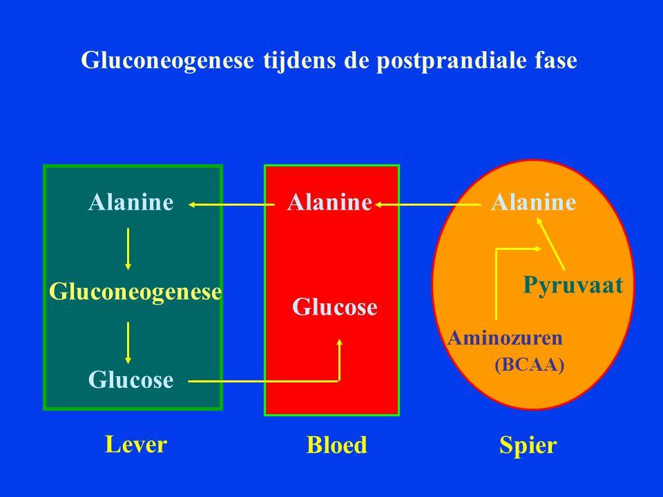 Gluconeogenese tijdens de postprandiale fase Alanine Glucose Gluconeogenese Lever SpierBloed Glucose Aminozuren (BCAA) Pyruvaat Alanine