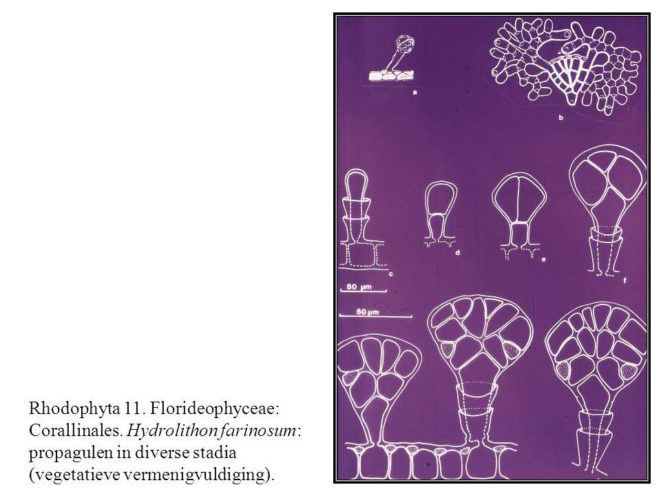 Rhodophyta 11. Florideophyceae: Corallinales. Hydrolithon farinosum: propagulen in diverse stadia (vegetatieve vermenigvuldiging).