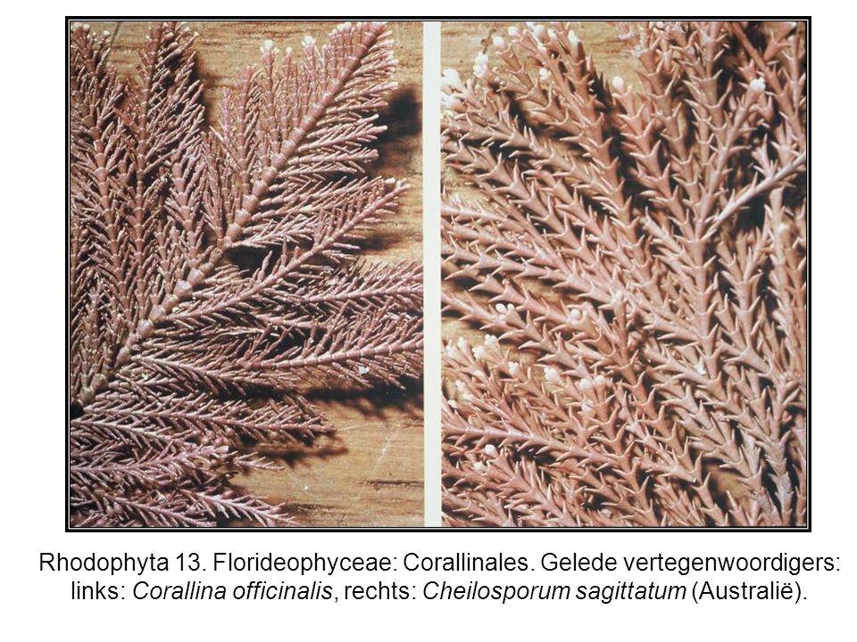 Rhodophyta 13. Florideophyceae: Corallinales. Gelede vertegenwoordigers: links: Corallina officinalis, rechts: Cheilosporum sagittatum (Australië).