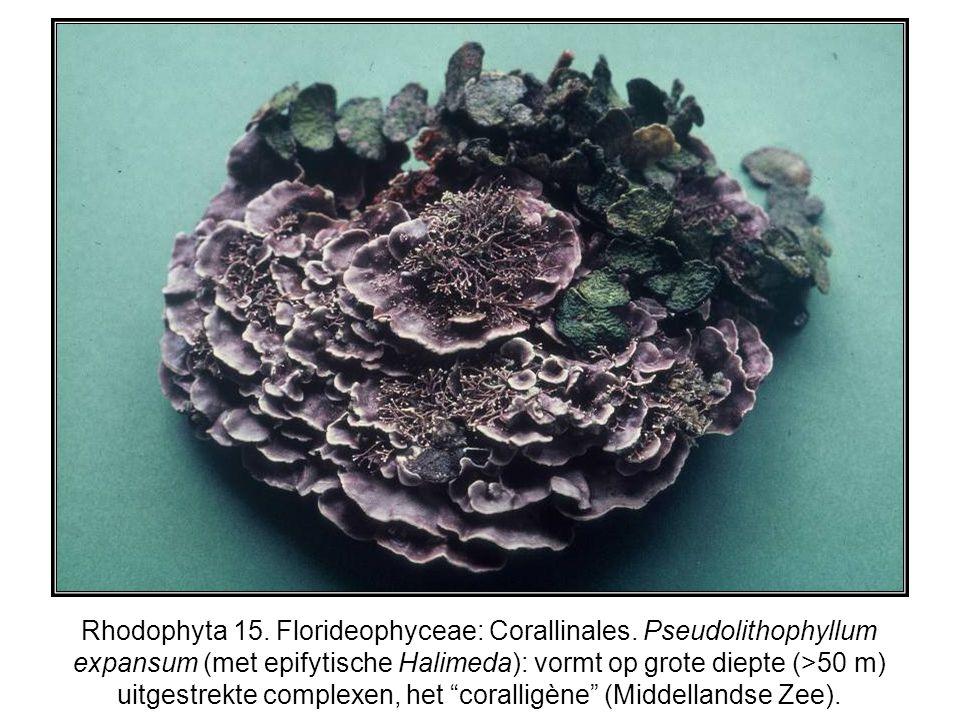 Rhodophyta 15. Florideophyceae: Corallinales. Pseudolithophyllum expansum (met epifytische Halimeda): vormt op grote diepte (>50 m) uitgestrekte compl