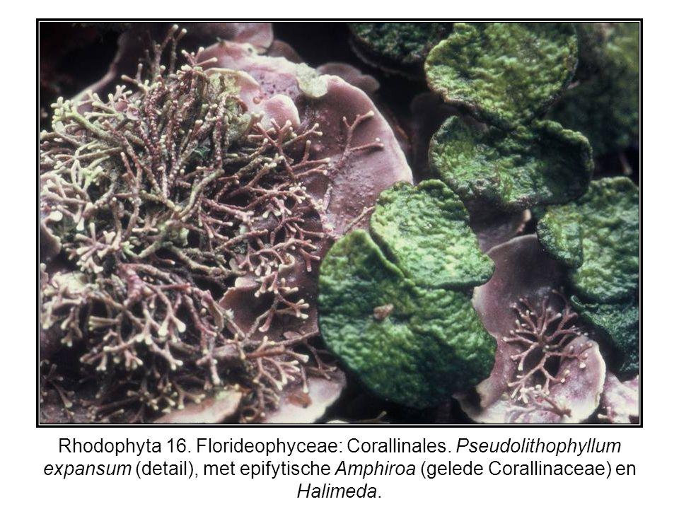 Rhodophyta 16. Florideophyceae: Corallinales. Pseudolithophyllum expansum (detail), met epifytische Amphiroa (gelede Corallinaceae) en Halimeda.