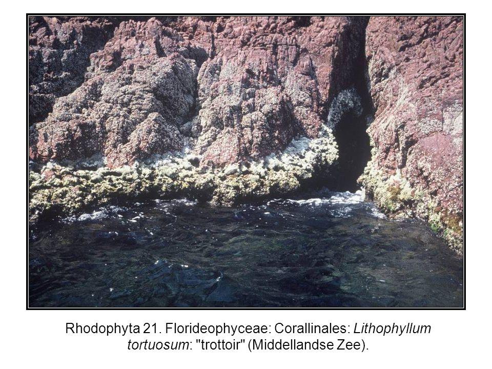 Rhodophyta 21. Florideophyceae: Corallinales: Lithophyllum tortuosum: