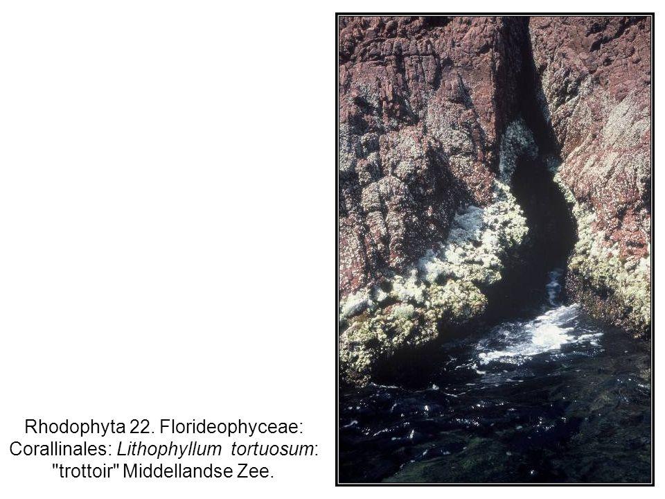 Rhodophyta 22. Florideophyceae: Corallinales: Lithophyllum tortuosum: