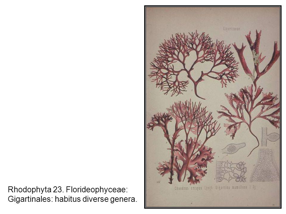Rhodophyta 23. Florideophyceae: Gigartinales: habitus diverse genera.