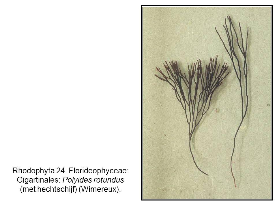 Rhodophyta 24. Florideophyceae: Gigartinales: Polyides rotundus (met hechtschijf) (Wimereux).