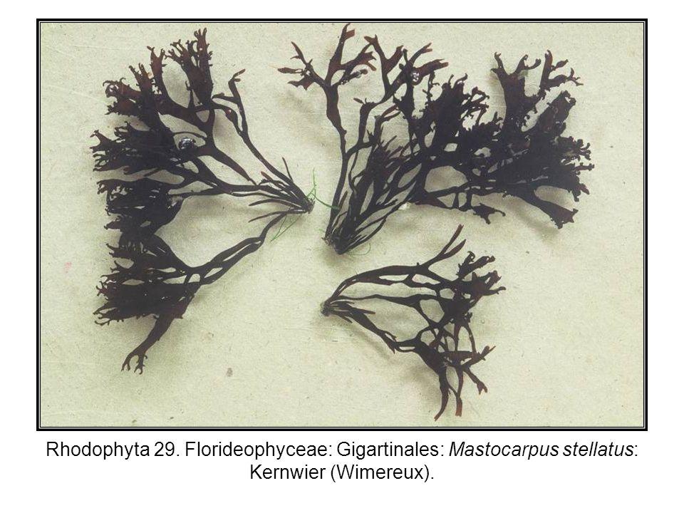 Rhodophyta 29. Florideophyceae: Gigartinales: Mastocarpus stellatus: Kernwier (Wimereux).