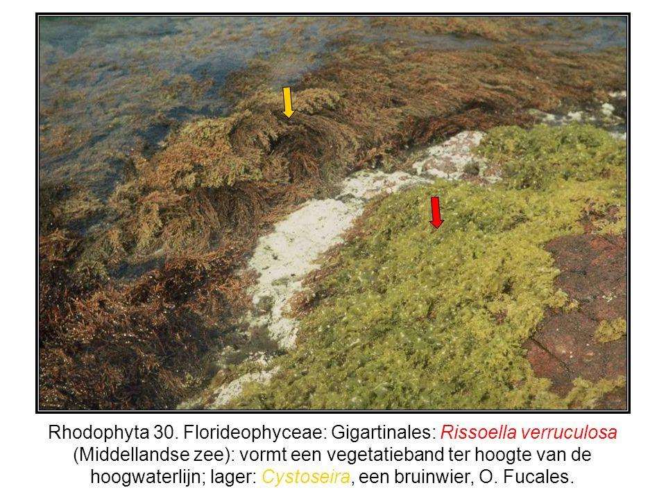 Rhodophyta 30. Florideophyceae: Gigartinales: Rissoella verruculosa (Middellandse zee): vormt een vegetatieband ter hoogte van de hoogwaterlijn; lager