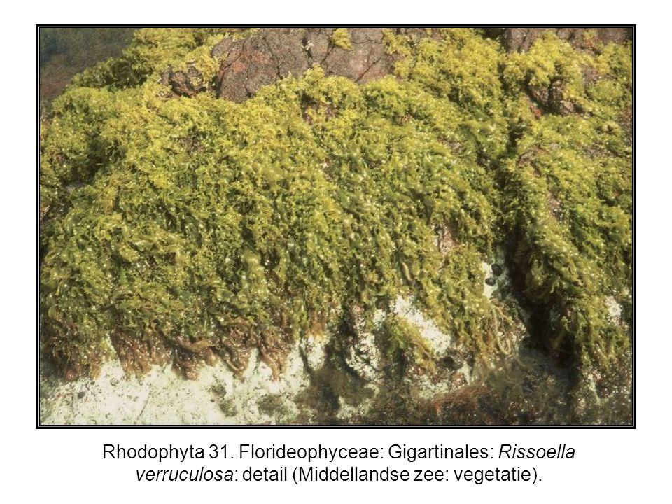 Rhodophyta 31. Florideophyceae: Gigartinales: Rissoella verruculosa: detail (Middellandse zee: vegetatie).