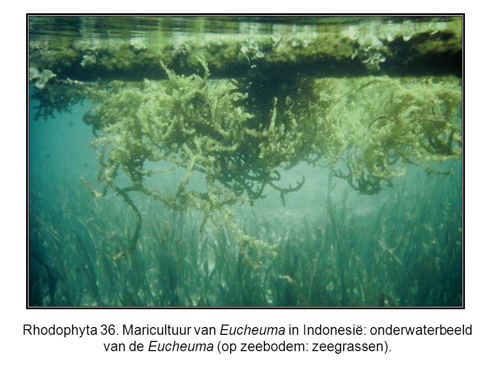Rhodophyta 36. Maricultuur van Eucheuma in Indonesië: onderwaterbeeld van de Eucheuma (op zeebodem: zeegrassen).