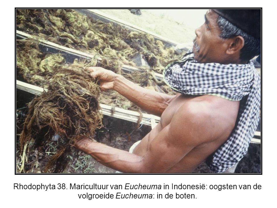 Rhodophyta 38. Maricultuur van Eucheuma in Indonesië: oogsten van de volgroeide Eucheuma: in de boten.