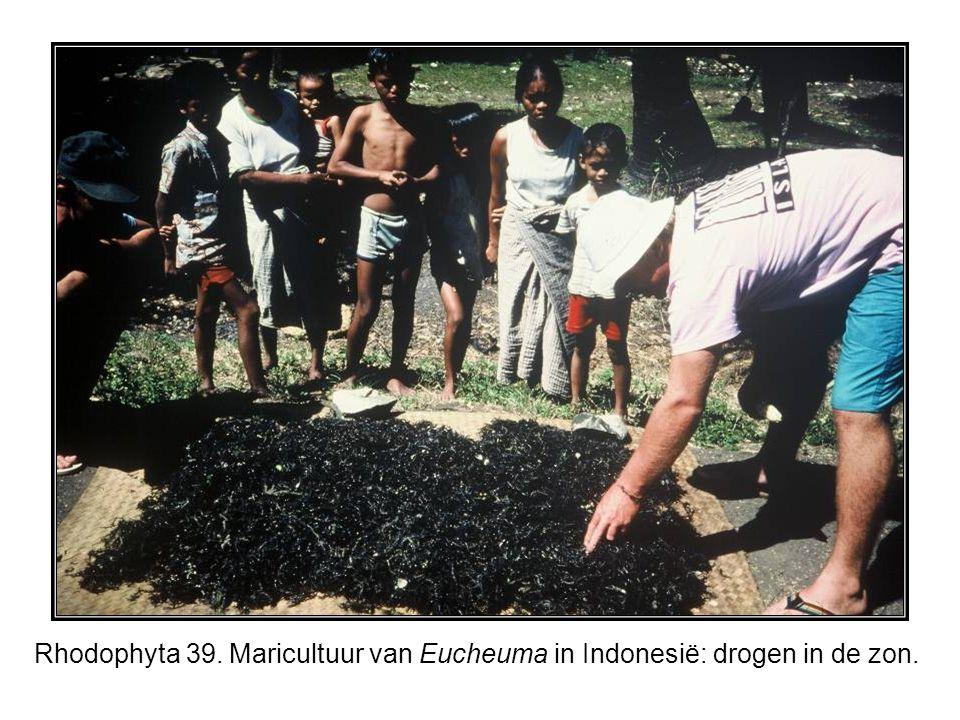 Rhodophyta 39. Maricultuur van Eucheuma in Indonesië: drogen in de zon.