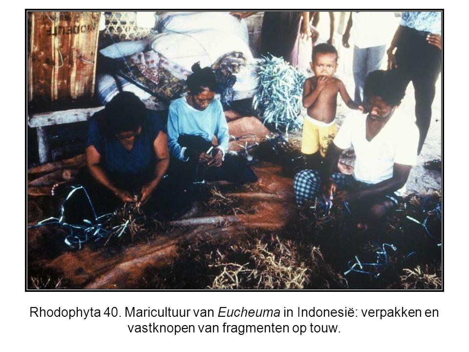 Rhodophyta 40. Maricultuur van Eucheuma in Indonesië: verpakken en vastknopen van fragmenten op touw.