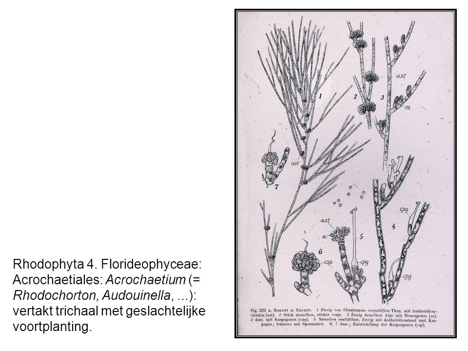 Rhodophyta 4. Florideophyceae: Acrochaetiales: Acrochaetium (= Rhodochorton, Audouinella,...): vertakt trichaal met geslachtelijke voortplanting.