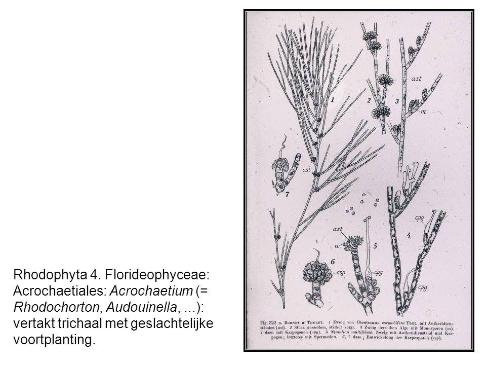 Rhodophyta 15.Florideophyceae: Corallinales.