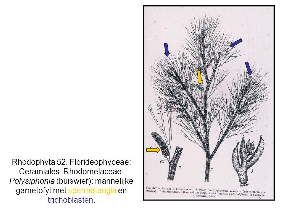 Rhodophyta 52. Florideophyceae: Ceramiales, Rhodomelaceae: Polysiphonia (buiswier): mannelijke gametofyt met spermatangia en trichoblasten.