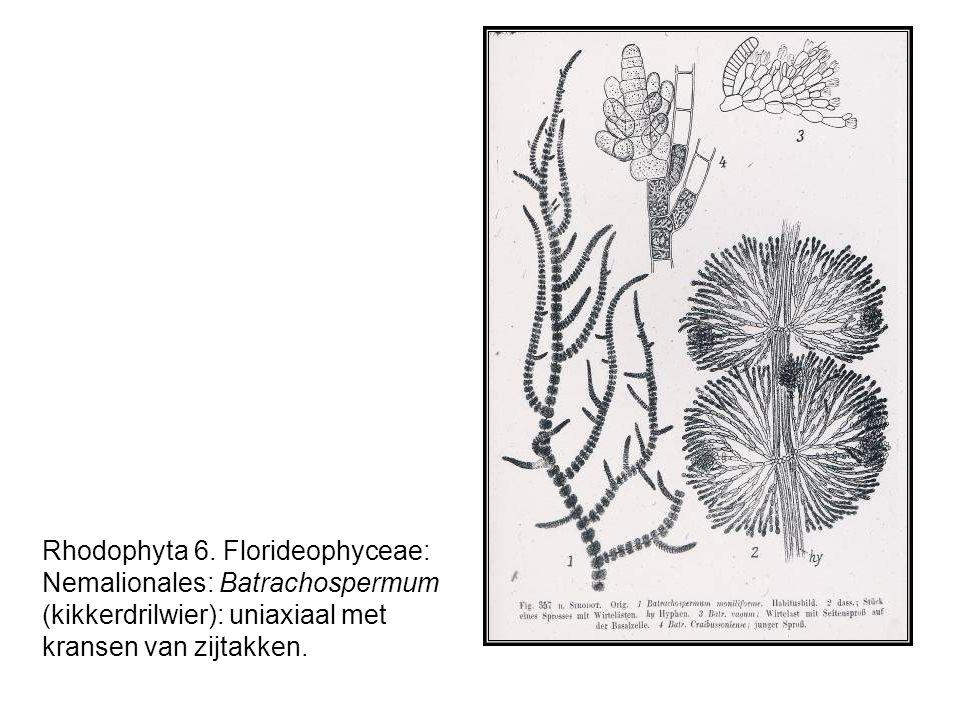 Rhodophyta 6. Florideophyceae: Nemalionales: Batrachospermum (kikkerdrilwier): uniaxiaal met kransen van zijtakken.