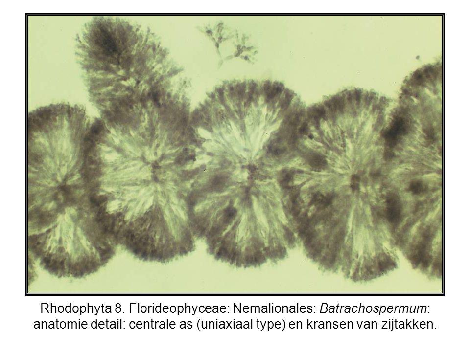 Rhodophyta 8. Florideophyceae: Nemalionales: Batrachospermum: anatomie detail: centrale as (uniaxiaal type) en kransen van zijtakken.