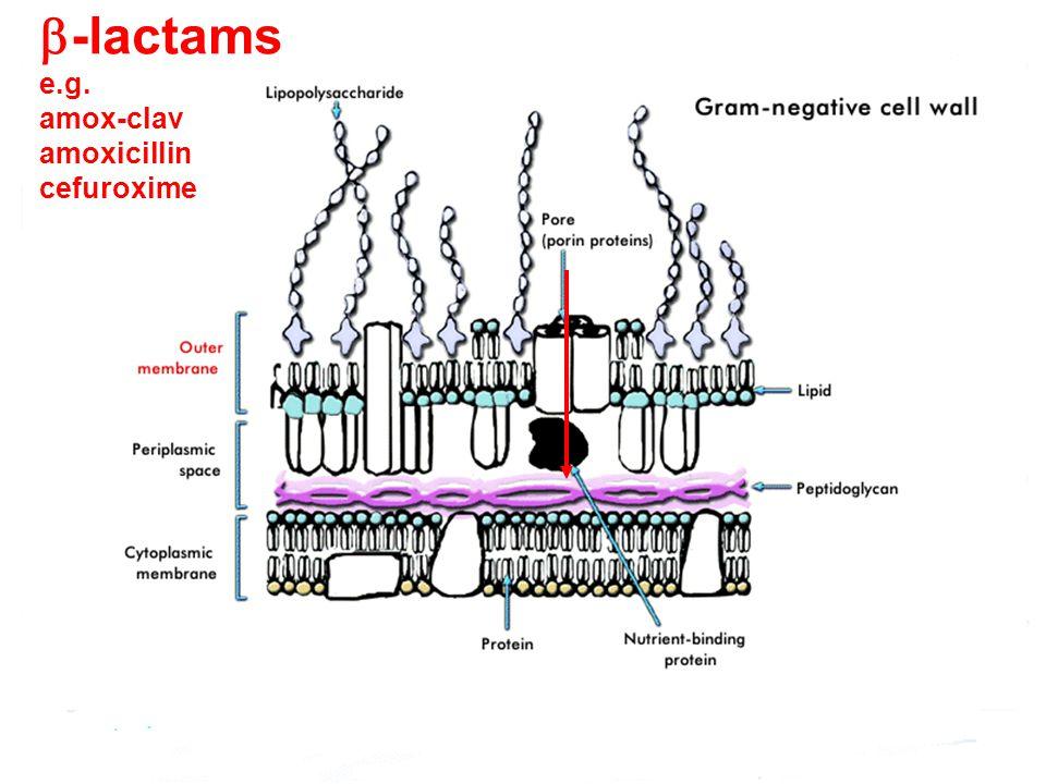  -lactams e.g. amox-clav amoxicillin cefuroxime