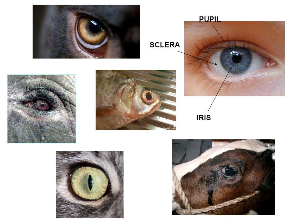 Diafragma (iris)