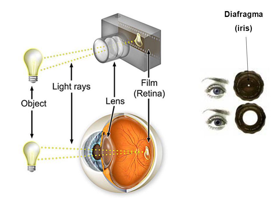 Fotoreceptorcellen Staafjes (rods): nacht-zicht – zeer gevoelig aan licht – Meerder staafjes voeden synaptische input naar 1 bipolaire cel – Geen scherp beeld, geen kleurzicht Kegeltjes (cones): dag-zicht – Minder lichtgevoelig – 1 (of slechts enkele) kegeltjes voeden 1 bipolaire cel – Scherp beeld – Kleurzicht (verschillende fotopigmenten, actief mbt verschillende golflengtes licht)