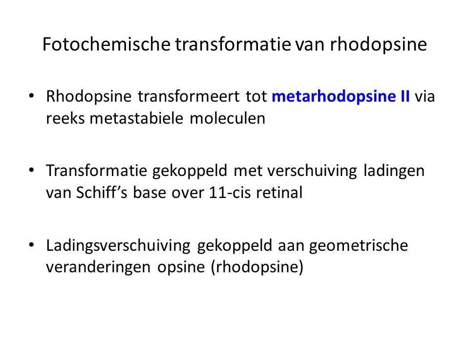 Rhodopsine transformeert tot metarhodopsine II via reeks metastabiele moleculen Transformatie gekoppeld met verschuiving ladingen van Schiff's base ov