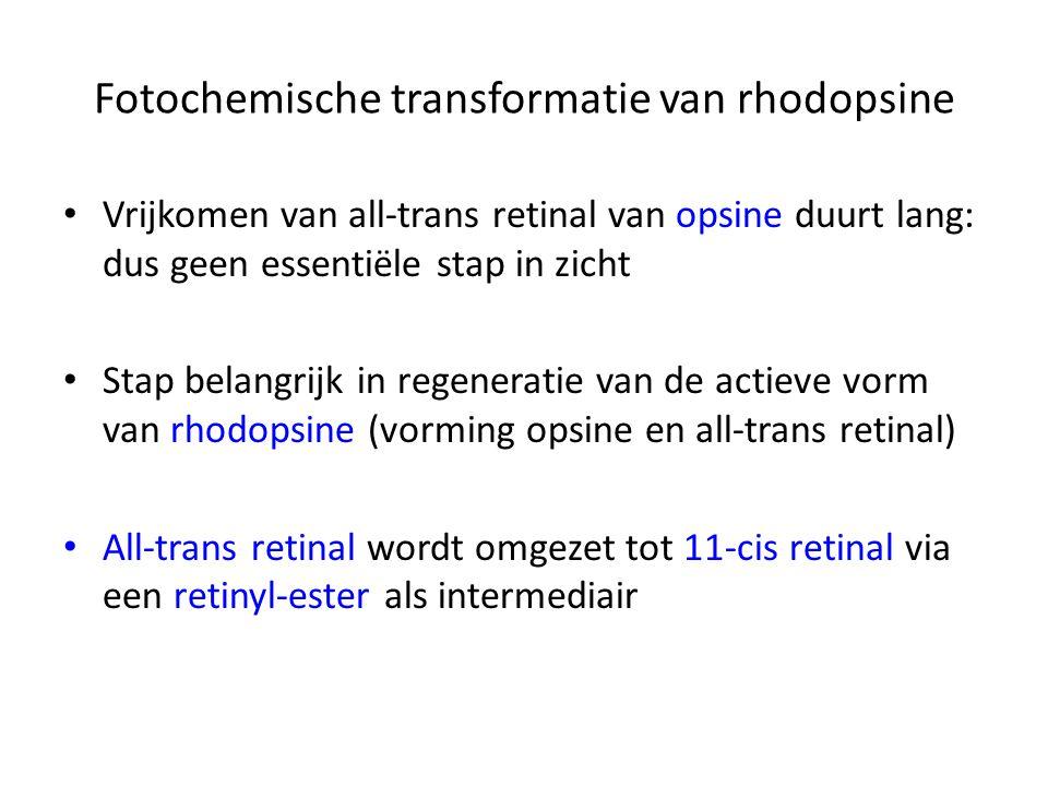 Fotochemische transformatie van rhodopsine Vrijkomen van all-trans retinal van opsine duurt lang: dus geen essentiële stap in zicht Stap belangrijk in