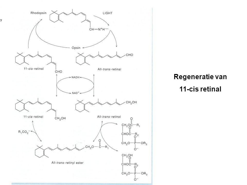 Regeneratie van 11-cis retinal