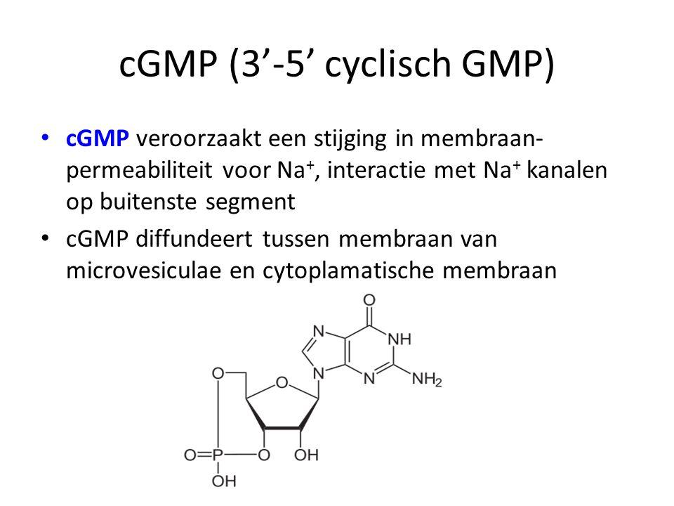 cGMP (3'-5' cyclisch GMP) cGMP veroorzaakt een stijging in membraan- permeabiliteit voor Na +, interactie met Na + kanalen op buitenste segment cGMP d